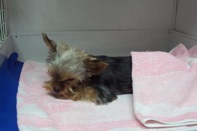 Hospitalizace psa po extrakci mléčných zubů