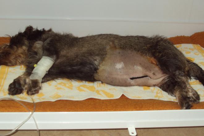 Hospitalizace po operaci zánětu dělohy (pyometra)