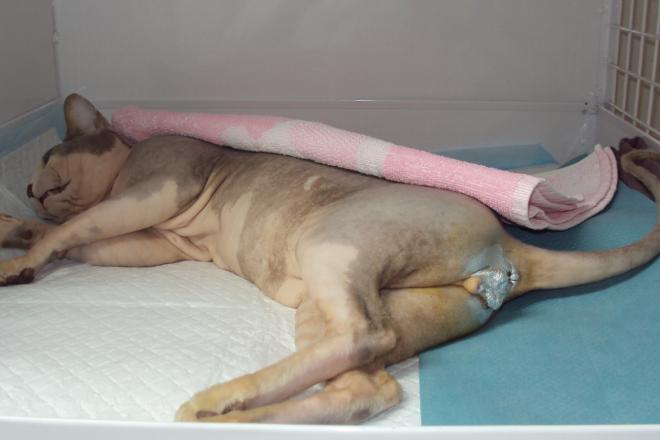 Hospitalizace po kastraci kocoura