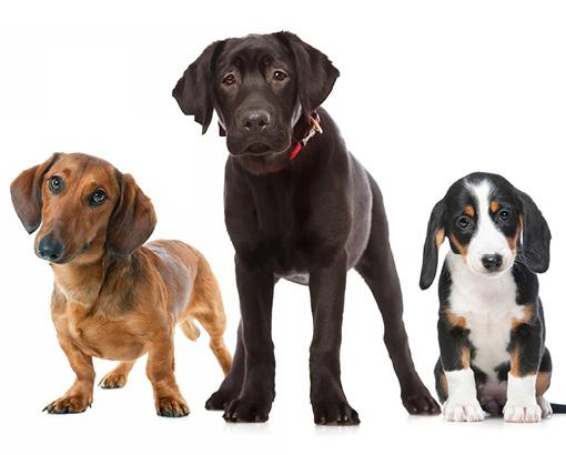 Vaccinations of dogs