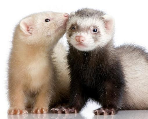 Vaccinations of ferrets