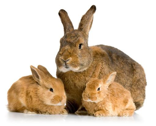 Vaccination of rabbits